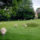 Sheep in Cotswolds, England